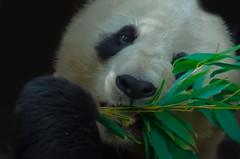 Panda love. (Elizabeth Haslam) Tags: china california zoo panda sandiego orangutan giantpanda sandiegozoo primate apes pandabear pandamonium ailuropodamelanoleuca incaptivity 2013 blackfootcat elizabethhaslam elizabethhaslamphotograhycom