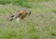 Red-shouldered Hawk (Grace Pedulla Dillon) Tags: road blue bird nature animal rural countryside florida wildlife cypress predator birdofprey redshoulderedhawk buteolineatus
