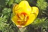 Pavilion_Gardens_0008 (Peter-Williams) Tags: uk flowers garden sussex countryside brighton crocus daffodil parkland carmelia paviliongardens