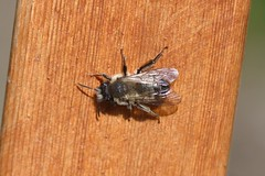 Mining Bee (Andrena). Olympia, WA (Megan Asche) Tags: plant color macro nature animal work canon bug hair insect eyes colorful wasp natural legs megan science petal bee busy stamen worker pollen antenna arthropoda scientist entomology entomologist arthropod beekeeper hymenoptera insecta pollenate pollenator asche hexapoda meganasche
