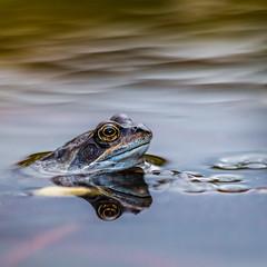 Froggy (*KarenT*) Tags: garden pond frog lincolnshire spawn