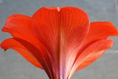 Flor Amarilys    =//=    P1040448a (Joo Batista**) Tags: flower nature natureza flor