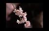 "Cherry blossom (karakutaia) Tags: sun tree love nature japan paper temple japanese tokyo heart superb card e simply sogno rockpaper afotando ""flickraward"" flickrglobal elementsorganizer allbeautifulshotsandmanymoreilovenature flowerstampblackandwhite transeguzkilorestreetarturbanagreatshotthisisexcellentcontestmovementricohgxr""serendipitygroupbluenatureicapture flickraward5""j tra realtabstract"