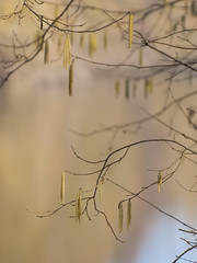 Chatons et arabesques ** (Titole) Tags: chatons catkins branches titole nicolefaton shallowdof thechallengefactory