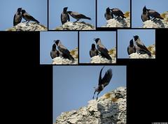 20150705_03 Two hooded crows (Corvus cornix) who were preening each other | Holmhällar, Gotland, Sweden (ratexla) Tags: ratexla'sgotlandtrip2015 nonhumananimal 5jul2015 2015 hoodedcrow corvuscornix crow crows polyptych grooming preening wildlife nature animals holmhällar gotland sweden sverige canonpowershotsx50hs cute beautiful cool scandinavia scandinavian europe nordiccountries norden skandinavien earth tellus photophotospicturepicturesimageimagesfotofotonbildbilder biology zoology djur bird birds fågel fåglar ornithology wild vild vilda life organism europaeuropean nonhumananimals animal dinosaur dinosaurs dinosaurie dinosaurier kråka kråkor putsning putsarsig putsar