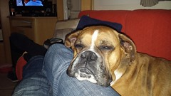 Reba after a busy day. (andreboeni) Tags: boxer dog boxerdog