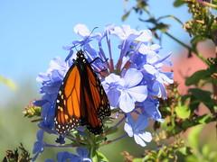 Monarch (Kalmagic !) Tags: butterfly western australia plumbago westernaustralia