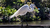 Back Lit Great Egret (hellotim80) Tags: