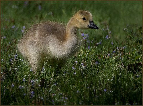 07-Canadian Goose Chick