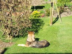 Isla sunbathing. (Glosters) Tags: thedognextdoor alsatian
