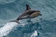 Jumping for Joy (PaulBalfe) Tags: marine stvincentgulf southaustralia mammal common dolphin