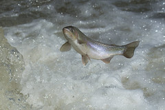 RAINBOW TROUT (AIR BUS) Tags: rainbowtrout fish d4 lakeontario alexborbely freshwaterfish bowmanvillecreek