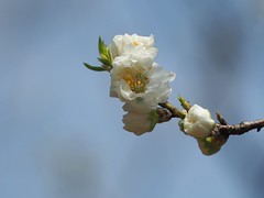 White plum blossoms (Greg Peterson in Japan) Tags: shiga flowers plants yasu 滋賀県 japan 野洲市 plumblossoms shigaprefecture jpn