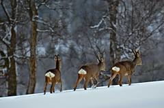 rådyr (KvikneFoto) Tags: rådyr roedeer vinter winter snow snø natur norge hedmark kvikne tamron nikon bokeh