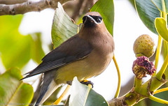 Cedar waxwing (pandeesh89) Tags: sanfrancisco california unitedstates us hooded oriole sf nature beauty colorul early morning tress food tasting eating birds time heaven lafayette park gough street washington local weekend ap2 2017 canon 100400