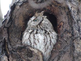 Petit-duc maculé / Eastern screech-owl / Otus asio / IMG_2902_lzn