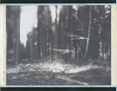 Looking at the spirit of spring (Maija Karisma) Tags: fujifilm fuji 4x5 peelapart fp100b45 expiredfilm nature graflex growngraphic polaroidback instantback instant