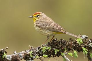 Palm Warbler - Michigan