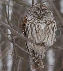 Chouette Rayée / Barred Owl (ALLAN .JR) Tags: chouetterayée oiseaudeproie birdofprey bird oiseau barredowl