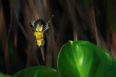 Landing (My Pixel Magic) Tags: bird flyingbird nature sunbird