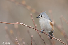 Tufted Titmouse (skersting66) Tags: wildlife birds tuftedtitmouse animals
