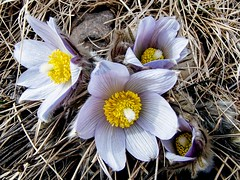 What a difference a day makes! (altamons) Tags: altamons wildflowers spring petals petal nature flowers flower calgary alberta plants plant canadian canada