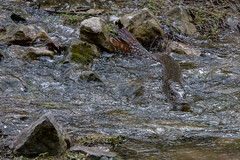 Northern pike fish spawning. (Mel Diotte) Tags: northern pike spawning explore nature wild stream mel diotte nikon d500