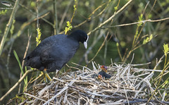 Coot with chicks (Mick Erwin) Tags: coot chicks nesting nest nikon afs 600mm f4e fl ed vr lens d810 mick erwin stoke trent staffordshire wildlife nature
