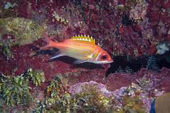 longjaw squirrelfish (Jeff Mitton) Tags: marine tropical squirrelfish longjawsquirrelfish guanaja honduras caribbean fish scuba earthnaturelife wondersofnature