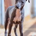 My mane is Happy. (Ernest Bech) Tags: dog gos perro llebreritalià italiangreyhound