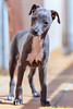 My mane is Happy. (Ernest Bech) Tags: dog gos perro llebreritalià italiangreyhound