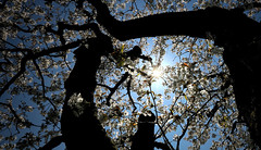 170A4213 (Ricardo Gomez A) Tags: blossom spring backlight flowers tree explore contrapicado contraluz