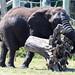 Elephant Flipping a Tree Stump