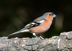 Chaffinch (gillybooze) Tags: ©allrightsreserved chaffinch bird onblack birdwatcher outdoor finch