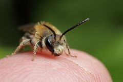 Male miner bee on my finger #3 (Lord V) Tags: macro bug insect bee minerbee finger
