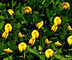 Flores amarillas... (MariaTere-7) Tags: flores amarillas parque generalísimo francisco de miranda del este caracas venezuela maríatere7