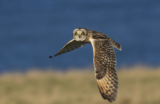 Short-eared Owl  giving you the eye(s)