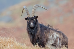 feral goat (dale 1) Tags: wild goat feral scotish scotland