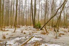 Waiting for Christmas (Peter Vestin) Tags: nikondf sigma24mmf14dghsmart siruin3204x siruik30x adobecreativecloudphotography topazlabscompletecollection heden karlstad värmland sweden nature landscape winter trees