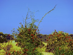 Autumn Berries! (maginoz1) Tags: flowers abstract rural thistle berries art manipulate autumn april 2017 bulla melbourne victoria australia canon g16