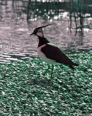 Lapwing 7 18 Apr 2017 (Tim Harris1) Tags: nikond7100 nikkor80400afs norfolk sculthorpemoor bird lapwing