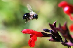 Carpenter bee and Salvia (TJ Gehling) Tags: insect hymenoptera bee apidae carpenterbee xylocopa flight insectflight beeflight plant flower lamiales lamiaceae sage garden elcerrito