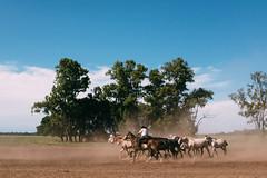 (thekevinchang) Tags: estanciasantasusana buenosaires argentina horses corral ranch cattle gaucho