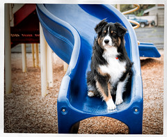 Too Cool For School (jayvan) Tags: dash aussie australianshepherd dog playground posed cool windy daycaredropout portland oregon sony slide frame twtme