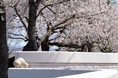 SAKURA 2017 (しまみゅーら) Tags: fujifilm xe2 ebc fujinon 55mm f18 velvia sakura