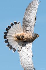 Kestrel ♂ (Shane Jones) Tags: kestrel raptor bird birdinflight birdofprey wildlife nature prey hunter nikon d500 200400vr tc14eii