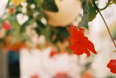 bloom (yuriko. k) Tags: canon eos kiss3 film 100