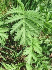 Tanacetum vulgare (anro0002) Tags: tanacetumvulgare rainfarn