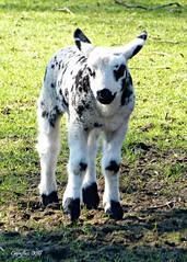 Lammetje op kinderboerderij Dragonderpark Veenendaal (Cajaflez) Tags: animal zoogdier jong youngh lamb lammetje kinderboerderij dragonder veenendaal spring voorjaar printemps fruhling coth5 ngc ruby5 ruby10