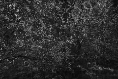 Blossom of Chaos (Ger208k) Tags: ireland wicklow tomnafinnogewoods blossom random chaos abstract bloom foliage nature landscape blackandwhite gerardmcgrath